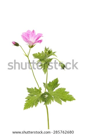 Wild geranium flower, bud, seed heads and foliage isolated against white - stock photo
