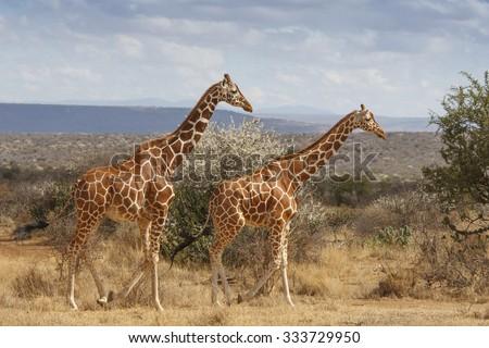 Wild Giraffe in Africa - stock photo
