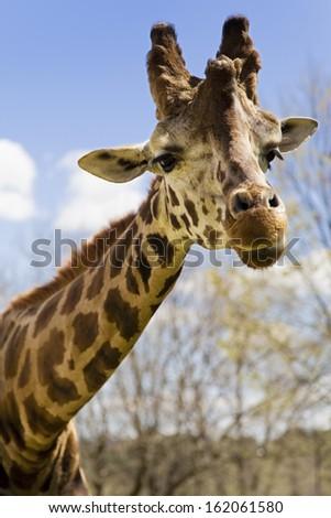 Wild giraffe walking in the jungle - stock photo