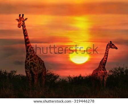Wild Giraffes in the savannah at sunset - stock photo