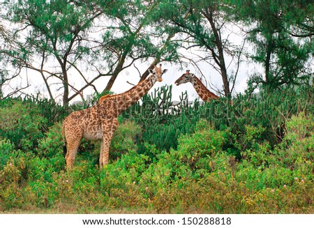 Wild Giraffes in the savannah in Maasai Mara, Kenya  - stock photo