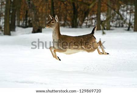 Wild goat runs along the edge of the forest - stock photo