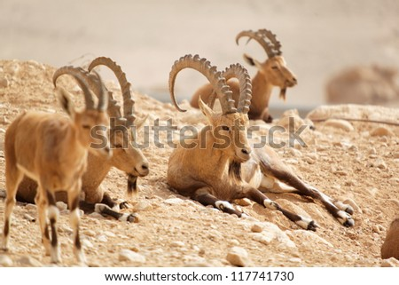 wild goats in nature summer day - stock photo