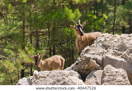 Wild goats kri-kri in Samaria Gorge, Crete, Greece.