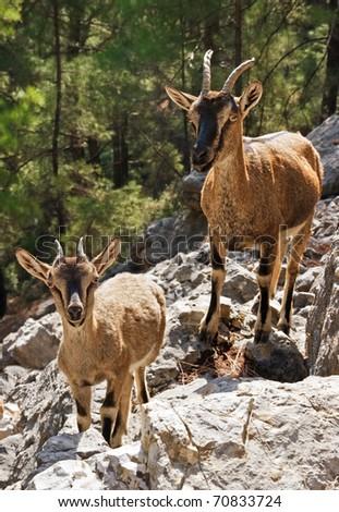 Wild goats kri-kri in Samaria Gorge, Crete, Greece. - stock photo