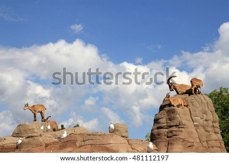 Wild goats on the rocks