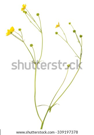 wild golden buttercup flower isolated on white background - stock photo
