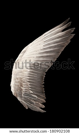 Wild goose wing. Close up. Isolated on a black background - stock photo