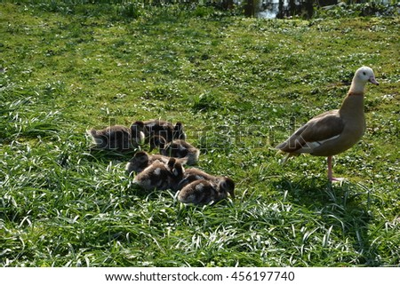 Wild Goose with chicks