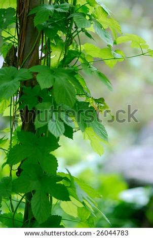 Wild grape background - shallow DOF - stock photo