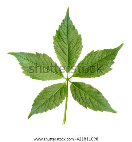 Wild grape leaf - stock photo