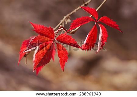 Wild grape red leaves, natural seasonal autumn vintage background - stock photo