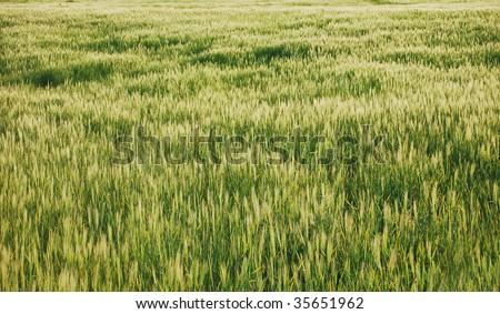 wild grass texture - stock photo