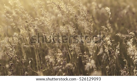 Wild grasses in a field at sunset. Beautiful autumn landscape