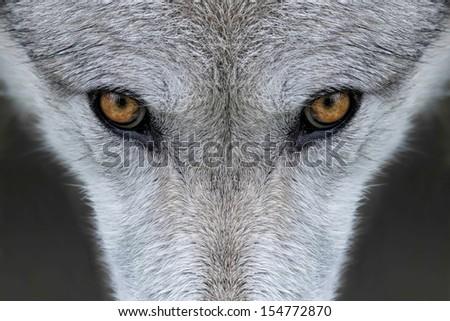 Wild gray wolf in Wyoming - stock photo
