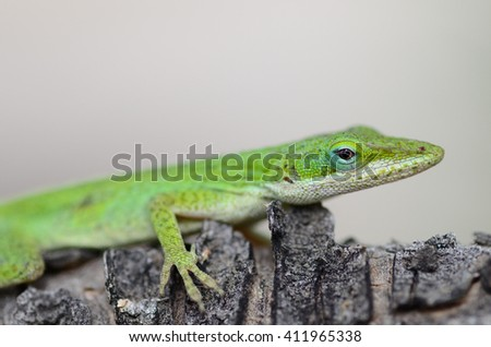 Wild Green Anole Lizard long and slender with pointed snouts. Males have a dewlap flap of skin below their neck used for attracting females.