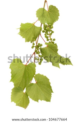 wild green grapes with leaves isolated on white