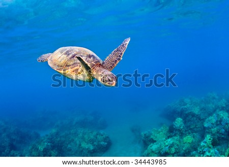 wild green sea turtle flying over coral reef underwater