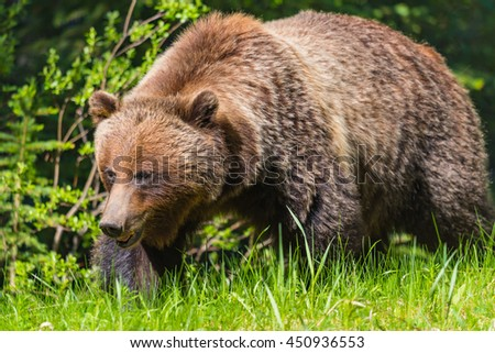 Wild Grizzly Bear in the summertime Banff National Park Alberta Canada