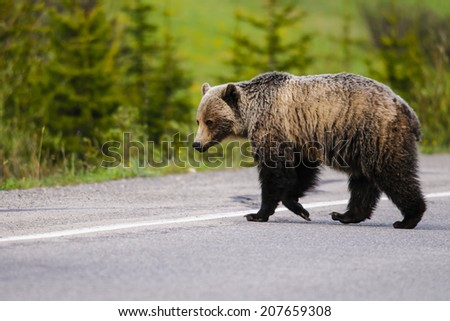 Wild Grizzly Bear walking across a paved highway, Kananaskis Country, Alberta Canada  - stock photo
