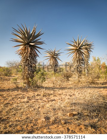 Wild growing aloe vera trees in a desert landscape in Botswana, Africa - stock photo