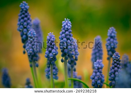 Wild-growing flowers of a lupine in the field in the sunset sun. - stock photo