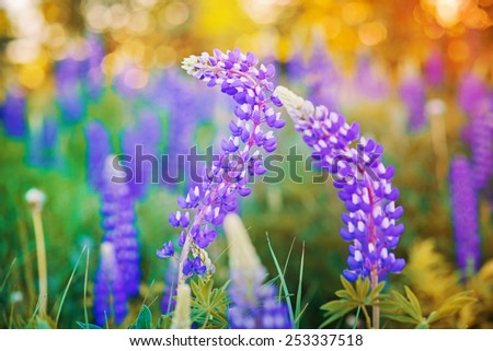 Wild-growing lupine flowers in the sunset sunlight - stock photo