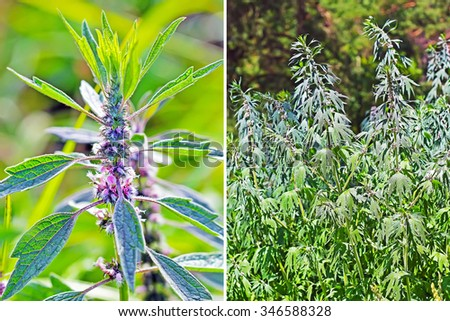 Wild-growing medicinal plant Leonurus cardiaca (Leonurus quinquelobatus). Inflorescence closeup and General view of flowering shrub in the natural environment - stock photo