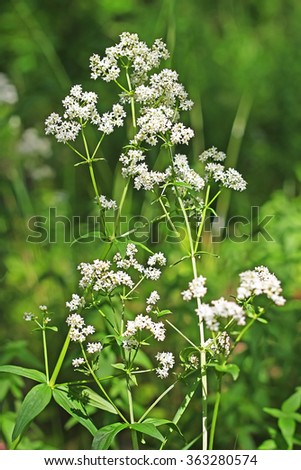 Wild-growing medicinal plants boreal Bedstraw, Northern ( Galium boreale L. ) - stock photo