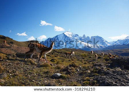 wild guanaco with hill and mountain in patagonia