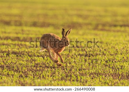 wild hare - stock photo