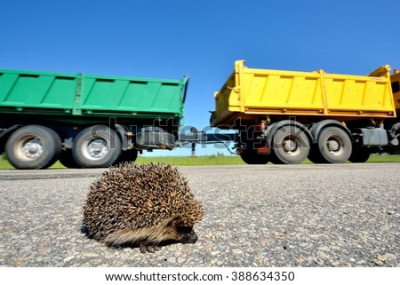 Wild Hedgehog crossing the highway and a truck on the background - stock photo