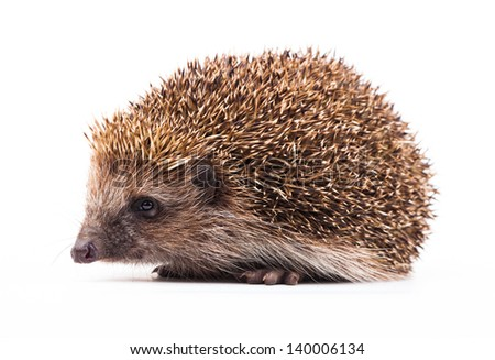 wild hedgehog isolated on white