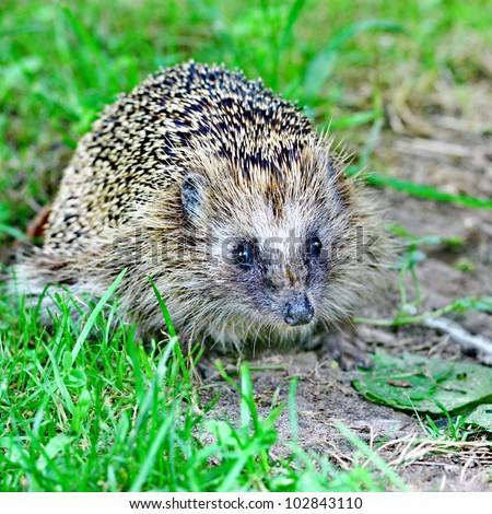 Wild hedgehog on the green grass background - stock photo