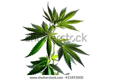 Wild hemp plant on the white background. - stock photo