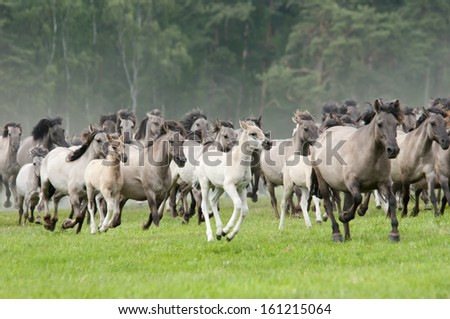 Wild herd of Duelmen Ponies at a gallop, Germany - stock photo