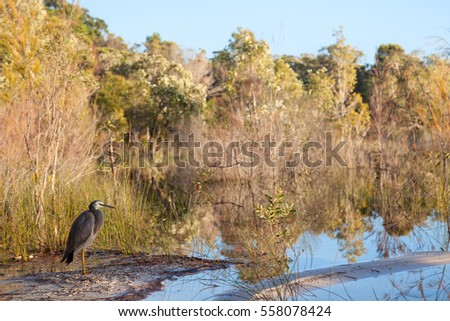 Wild Heron bird on the shore of shallow lake, Fraser Island, Australia