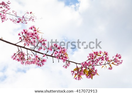 Wild Himalayan Cherry Blossom on White Background