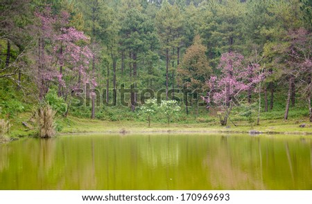Wild Himalayan cherry landscape in Khun Huay Hang, Doi Inthanon, Chiang Mai ,Thailand