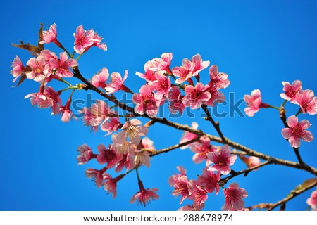 Wild Himalayan Cherry on the blue sky