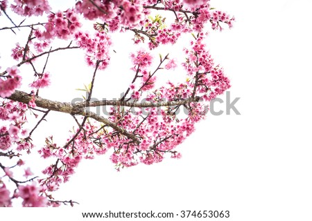 Wild himalayan cherry on tree in Chiang Mai province, Thailand. Isolated on white background