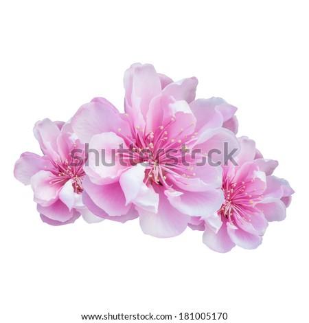 Wild Himalayan Cherry or Cherry Blossom - stock photo
