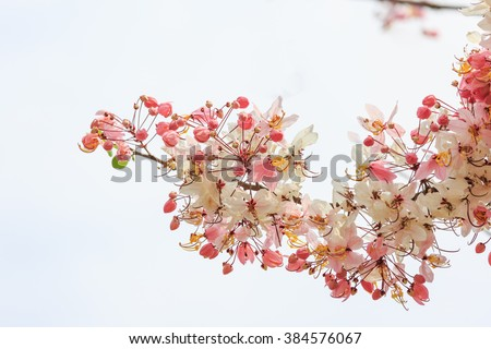 Wild Himalayan Cherry,Sakura Thailand,Pink flower of Wishing tree and cassia bakeriana craib