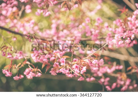 Wild Himalayan Cherry spring blossom - stock photo