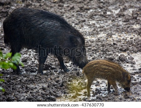 Wild hog females and piglets feeding in the mud
