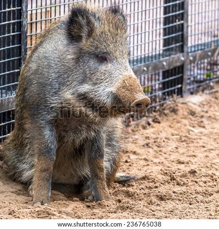 Wild hog sitting on the ground - stock photo