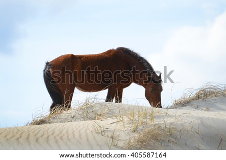 wild horse grazing on a sand dune - stock photo