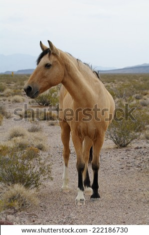 Wild horse in the California desert. Photo taken near Death Valley Junction. - stock photo