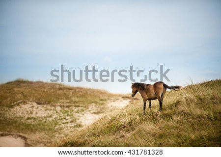 Wild Horse in the Dunes at the North Sea