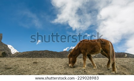 Wild horse pasturing on mountain environment. Manang, Nepal. Manang village is a part of Annapurna circuit trek, one of the most popular adventure circuit trek in the world.